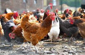انواع بیماری در مرغ های بومی
