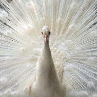 تخم نطفه دار طاووس سفید هندی