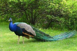 تخم نطفه دار طاووس سبز