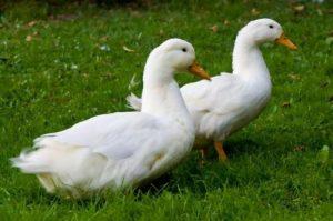 تخم نطفه دار اردک پکنی