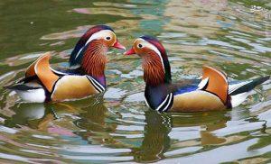 تخم نطفه دار اردک ماندارین
