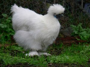 تخم مرغ ابریشمی کوپال