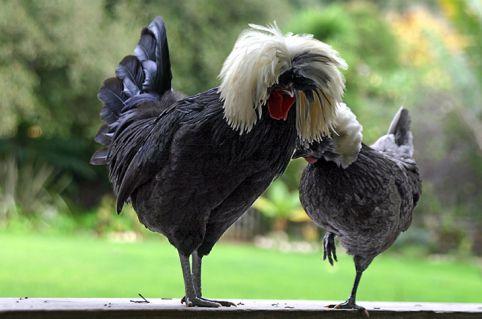 مرغ و خروس لهستانی
