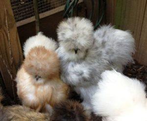 تخم مرغ ابریشمی