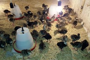 گران شدن مرغ و تخم مرغ