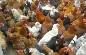 تولید تخم مرغ محلی