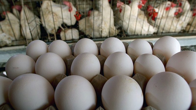 صادرات تخم نطفه دار مرغ