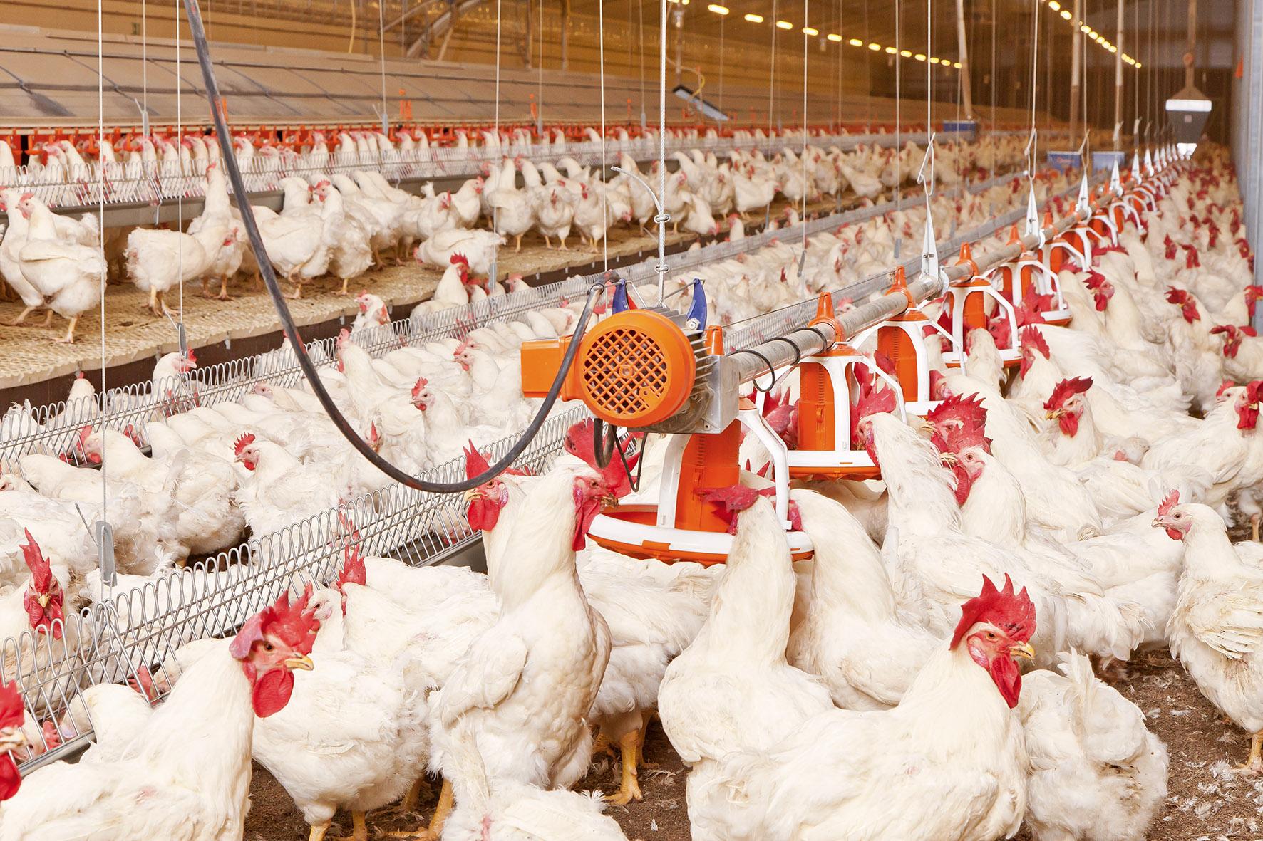 فروش مرغ زنده در کرمانشاه