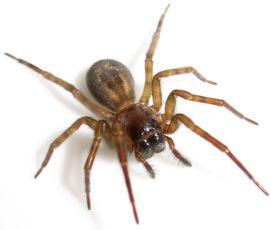سم عنکبوت روفست