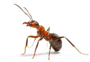 سم مورچه کش هلاک
