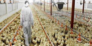 افزایش 35 درصدی جوجه ریزی در خوزستان