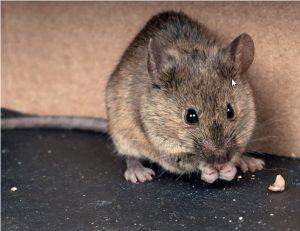 چگونه از دست موش ها خلاص شویم