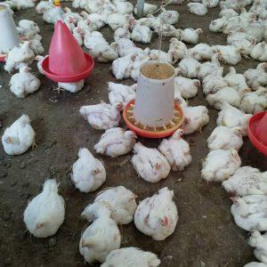 به راحتی مرغ گوشتی پرورش دهید