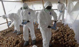 نگرانی از شیوع آنفلوانزای مرغی در قزوین