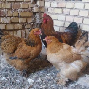 تخم نطفه دار مرغ محلی