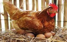 تاکید بر فروش مرغ خرد شده